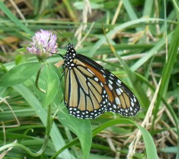 Monacrh butterfly feeding on red clover.